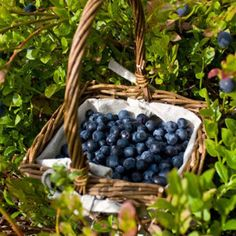 Planting several blueberry bushes is a wonderful way to incorporate edible ornamentals into your landscape. The fruits are delicious to eat and contain a broad range of health benefits, and the plant's foliage provides a great source of fall color.