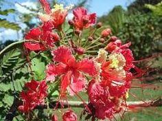 O flamboianzinho é um arbusto ou arvoreta perene, muito popular no paisagismo tropical. Ele apresenta caule lenhoso, ereto, ramificado e cheio de espinhos. Suas folhas são grandes e bipinadas, d...