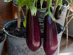 There are different plants to grow in pots and eggplant is one of them. Growing vegetables in containers, especially eggplants can be the best decision you have ever made