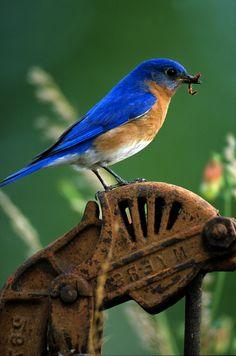 Eastern Bluebird - male                                                       …