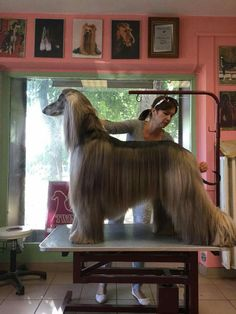 Hound Breeds, Hound Dog, Dog Breeds, Afghan Hound, Most Beautiful Dogs, The Perfect Dog, Dogs Of The World, Happy Dogs, Dogs And Puppies