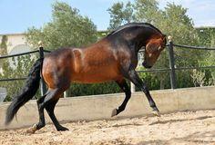 OMNI (Manzanillo - Cariñosa XLVIII) Owner: Yeguada Bautista Vich, Mallorca (Spain) ©Antonia Bautista 2013