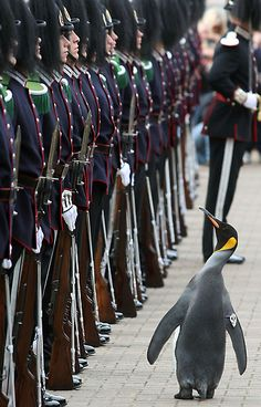 Nils Olav, an Edinburgh Zoo penguin and Colonel-in-Chief of the Norwegian King's Guard