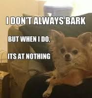 Image result for chihuahua funny meme #chihuahuadaily #teacupdogs…