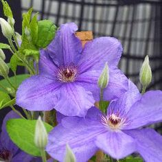 Clematis  SUCCESS® Bleu de Loire 'Tra39-65' 1
