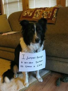 """I jumped through the window to chase a cow."" ~ Dog Shaming shame - Typical Border Collie Behavior how did they not see this coming? lol stelly went through the window for a butterfly Border Collie Humor, Border Collie Pictures, Collie Dog, Border Collie Puppies, Border Collie Mix, Funny Dogs, Funny Animals, Cute Animals, Animal Memes"