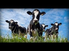 Buenas Practicas Ganaderas  para la Raza Holstein  - TvAgro por Juan Gon...