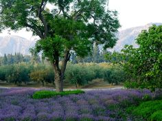 lavender in july spells provence… | French Essence