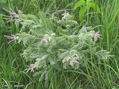 Save the bees with native plants! Lead Plant (Amorpha canescens) Supports over 50 bee species and over 100 insect species  Dry soil in sun works great for this native from Michigan to Arkansas and west to New Mexico, Wyoming and South Dakota. Lead plant reaches no more than about 2 feet tall and wide and has a nice, small shrub form. In fact, you don't even need to cut it back in spring.