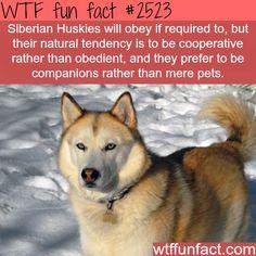 Siberian Huskies - WTF fun facts