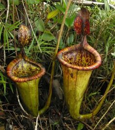 Google Image Result for http://webecoist.com/wp-content/uploads/2009/09/giant-meat-eating-plant-Nepenthes-attenboroughii-2.jpg
