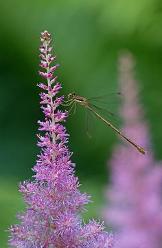 """Macro photography of a Slender Spreadwing damselfly, also known as Lestes rectangularis resting on a pink floral in Maine. Photograph was taken on a late morning in July 2014.  """"The most beautiful thing we can experience is the mysterious. It is the source of all true art and science."""" ~ Albert Einstein  Good light and happy photo making!  My best,  Juergen http://www.exploringthelight.com http://www.rothgalleries.com"""