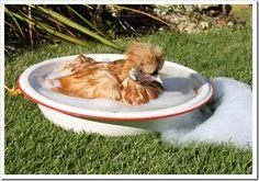Silkie Chicken taking a bubble bath...
