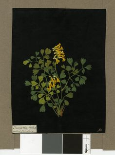 IV, 1777 Collage of coloured papers, with bodycolour and watercolour, on black ink background © The Trustees of the British Museum Nature Illustration, Botanical Illustration, Botanical Drawings, Botanical Prints, Drawing Sketches, Art Drawings, Paper Artwork, Collage Artists, Paper Artist