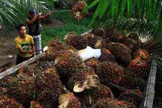 """PT PP London Sumatra Indonesia Tbk. berencana untuk membangun pabrik kelapa sawit (PKS) di Kalimantan Timur pada tahun depan. Direktur Utama London Sumatra Benny Tjoeng mengatakan ekspansi kebun sawit yang dilakukan perseroan rata-rata 3.000 hektar di Kaltim diperkirakan akan segera membutuhkan PKS dengan kapasitas 60 ton per jam. """"Di Kaltim ekspansi rata-rata 3.000 hektar sehingga tahun"""