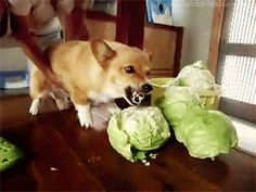Dog GIFs Hates Cabbage
