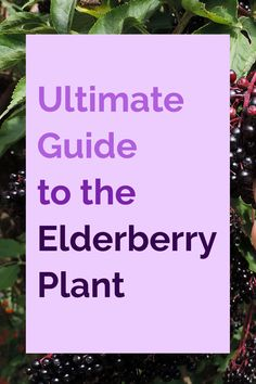 Want to know what all the fuss is about when it comes to black elderberry? We've got your ultimate guide to the elderberry plant that explains why it's so special 💜✨ #elderberry #blackelderberry #elderberrybenefits #elderberrysyrup Sambucol Black Elderberry, Elderberry Plant, Elderberry Syrup, Elderflower Wine, Elderberry Benefits, Bone Density, Beltane, Explain Why, Vitamin E