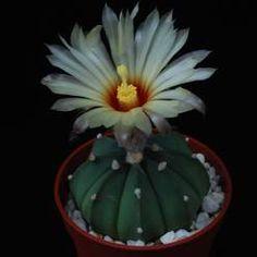 Cacti - Cactus, cactuses, Cactaceae