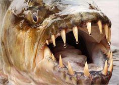 criaturas-estranhas-bizarras_3 - Peixe-tigre-golias