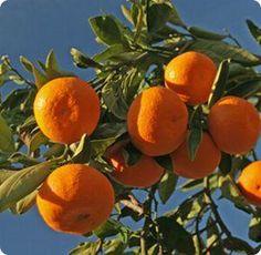 Vitamin C --- Buy Organic Satsuma Mandarin Oranges Shipped Farm Fresh Anywhere in U. Oh The Places You'll Go, Vitamin C, Textures Patterns, Allergies, Healthy Lifestyle, Mandala, Organic, Fresh, Plants