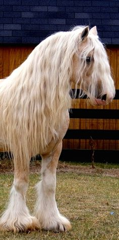 Palomino Gypsy Cob/Vanner - horse breed