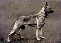 German Shepherd 1900