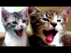 Cats Scream Yawns. Too funny!