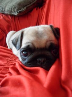 Pug in red