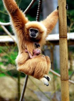 Gibbon monkey Mom & baby  .... at  Everland zoo  (kinda sad they aren't in the WiLD)