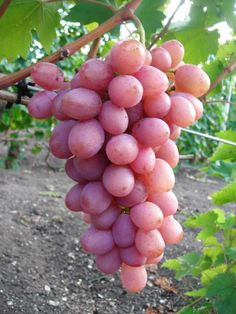 Rare Colour Grape Seeds Healthy And Organic Fruit Seeds Natural Growth Grapes Perennial Outdoor Plants For Garden Fruit Garden, Edible Garden, Garden Plants, Fresh Mint Leaves, Fresh Fruit, Fruit Seeds, Beautiful Flowers Wallpapers, Growing Grapes, Red Grapes