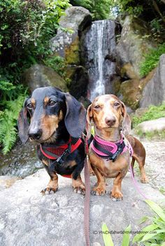 Love - Doxies and waterfalls