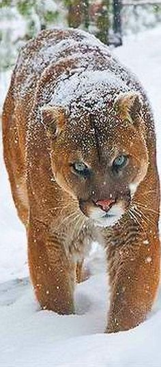 amazing COUGAR ( PUMA )  #photo by Raymond J Barlow #wildlife wilderness mountain lion big cat nature animal