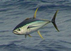 LISTEN: The day boat San Diego with 80 yellowfin tuna in first stop of the day – Ocean Fishing Boats, Tuna Fishing, Deep Sea Fishing, Fly Fishing, Saltwater Flies, Saltwater Fishing, Yellowfin Tuna, Fishing Photos, Salt Water Fish
