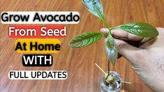 How to Grow Avocado Tree from Seed , Growing Avocado Plant in water , Grow indoor Today i show you how to gr.