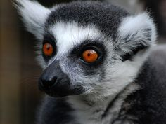 Lemur by Poul Nebel on 500px