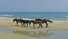 Corolla Outer Banks North Carolina. I LOVED driving my truck on the beach and seeing the wild horses so close to us.