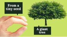 This miracle is unbelievable! The seed is so small that it is difficult to perceive it. And yet, from this seed a huge tree is grown. Our favorite mulberry !!! Good luck!!! Giant Tree, Seeds, Gardening, Youtube, Plants, Lawn And Garden, Youtubers, Youtube Movies, Horticulture