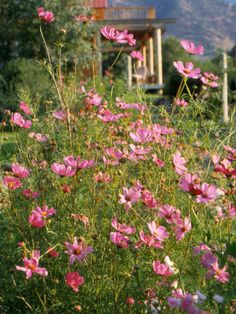 Smart Plant Picks  Cosmos is a great plant for Jane's garden. It blooms throughout the summer with very little care and will often self-seed, meaning new seedlings grow and bloom each year on their own. Plus, cosmos is a top-notch cut flower.    Test Garden Tip: Here at the Better Homes and Gardens Test Garden, we love pairing cosmos with blue salvia, purple angelonia, orange Mexican sunflower, and yellow zinnias.