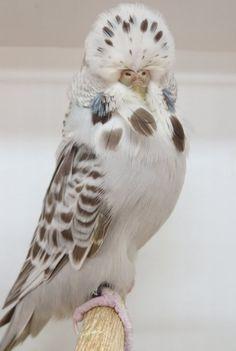 I Like Birds, Birds And The Bees, Cute Birds, Pretty Birds, Beautiful Birds, Animals Beautiful, Budgie Parakeet, Budgies, Cockatiel