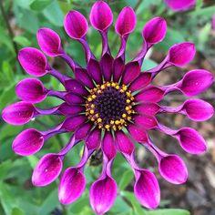 Star #flowermagic #flower_daily  #florecitas_mx #flowers_shotz #floral_secrets #floral_perfection #petal_perfection #paradiseofpetals #pasandha__flowers #blooming_petals #_flowersworld_ #www_natures #9vaga_flowersart9 #quintaflower #estaes_flores #gr8flowers #igscflowers #beauty_of_nature #flowerstalking #natureloversgallery #ponyfony_flowers  #quatroestacoes #_international_flowers_ #nature_special_vip #mta_flowers  #global_nature_pinks #heavenlyflowerz #flower_special #joyful_pics_member…