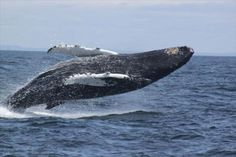 grand manan whales - Google Search