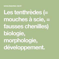 Les tenthrèdes (= mouches à scie, = fausses chenilles) biologie, morphologie, développement.