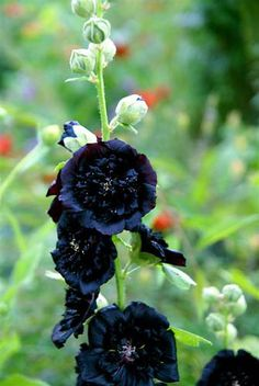 black hollyhocks  biannual self seeding  just good to look at or use height to hide something