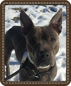 Ridgewood, NY - American Pit Bull Terrier Mix. Meet Baby a Dog for Adoption.