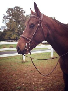 ridingfury:  Goofy boy always wants to chew reins/ropes/anything he can get!  Tori did this once and I didn't notice, and she almost c...
