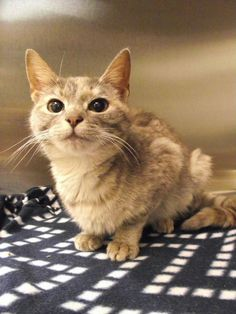 Meet Spunky # 150820, a Petfinder adoptable Dilute Tortoiseshell Cat | Lebanon, OH | This is just one of the great pets at the shelter waiting for a home.  We have dogs and cats...