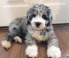 If you love soft and curly haired dogs, I'm sure you are a fan of Whoodle dogs and puppies. As we all know Whoodle dogs are a breed of doodle dog family and they also have Poodle dogs genetics. Puppies And Kitties, Cute Puppies, Cute Dogs, Doggies, Dalmatian Puppies, Funny Dogs, Fluffy Puppies, Poodle Mix Puppies, Puppy Husky