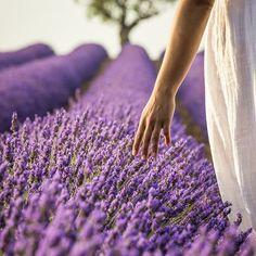 Impressive lavender plant growth on this favorite site Lavender Cottage, Provence Lavender, Lavender Garden, Lavender Blue, Lavender Fields, Lavender Flowers, Lavander, Farm Photography, Portrait Photography