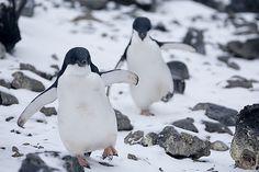 Adelie Penguin Chase