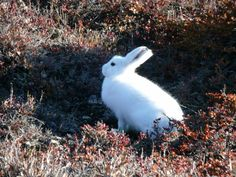 Arctic Hares generally live alone, but on occasion they do group together by the dozens or even hundreds, huddling up together for warmth. Arctic Hare, Can Run, Wildlife, Animals, Group, Live, Nature, Animaux, Animal